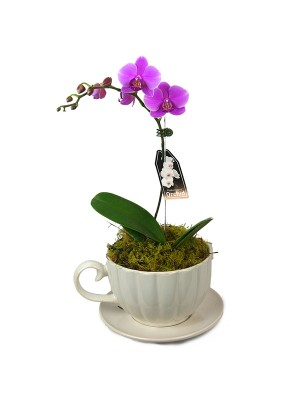 Tea cup Phalaenopsis Orchid. ** includes delivery up to a 15km radius