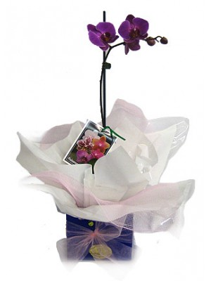 Purple phalaenopsis orchid. **delivery included up to a 15km radius