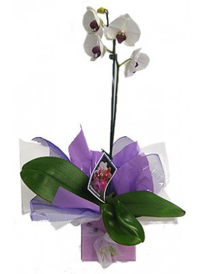 White Phalaenopsis Orchid  **delivery include up to a 15km radius